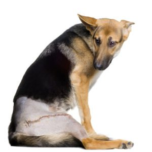 Kreuzbandriss beim Schäferhund