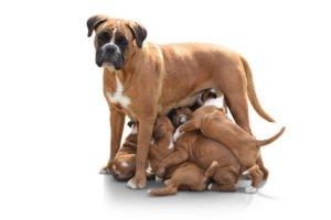 Hundekastration bei der Hündin