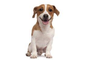 Hundekastration beim Rüden