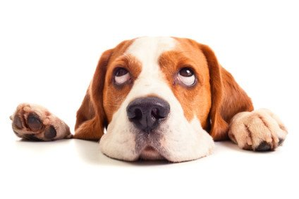 Sterilisation oder Kastration beim Hund
